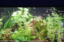 Ausstellung_2013_Pflanzenaquarium_mit_Keilfleckbaerblingen__LED-Beleuchtung_02