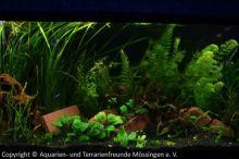 Ausstellung_2013_Aquarium_mit_suedamerikanischen_Salmlern_01