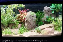 Aquascaping_09_Danio_margaritatus
