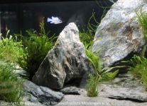Aquascaping_03_blaue_Schmetterlingsbuntbarsche