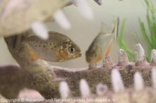 06_Piranhas