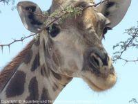131-Giraffe-a_2