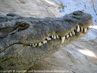 361-Krokodil-a_2