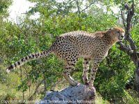 310-Gepard-a_2