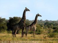 372-Giraffen-a_2