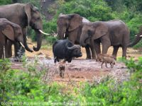 012-Elefanten mit Büffel_2