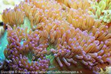 Meerwasser-Aquaristik_13