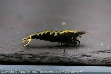 w_Caridina_spec_(TangTai-Black-Fishbone)