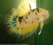 Kampffische_von_Joland_Schaer_00