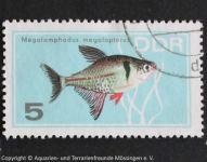 Hyphessobrycon_megalopterus_DDR
