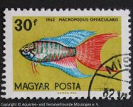 Macropodus_opercularis_UNGARN