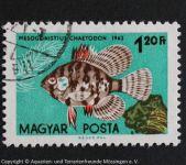 Mesogonistius_chaetodon_UNGARN