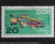 Aphyosemion_coeruleum_DDR