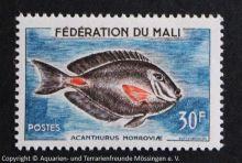 Acanthurus_monroviae_MALI