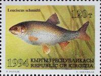 Leuciscus-schmidti_KIRGISIEN