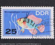 Microgeophagus_ramirezi_DDR