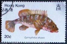 Epinephelus-akaara_HONGKONG