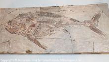 Pachycormus-curtus