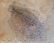 Schmelzschuppenfisch_01