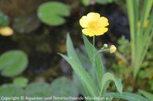 Ranunculus_lingua_01