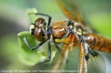Vierflecke-Libelle