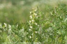 09_Gruenliche_Waldhyazinthe_(Platanthera_chlorantha)