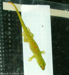 Phelsuma-mad-grand-juv2
