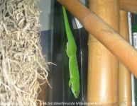 Phelsuma-mad-grand-juv1